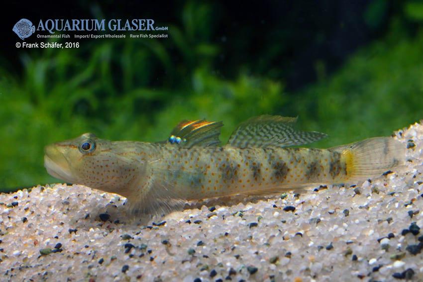 Rhinogobius maculafasciatus - Gestreifte Rotpunktgrundel 5