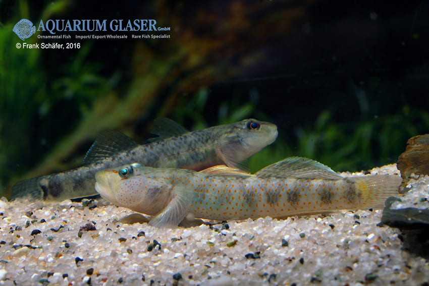 Rhinogobius maculafasciatus - Gestreifte Rotpunktgrundel 8