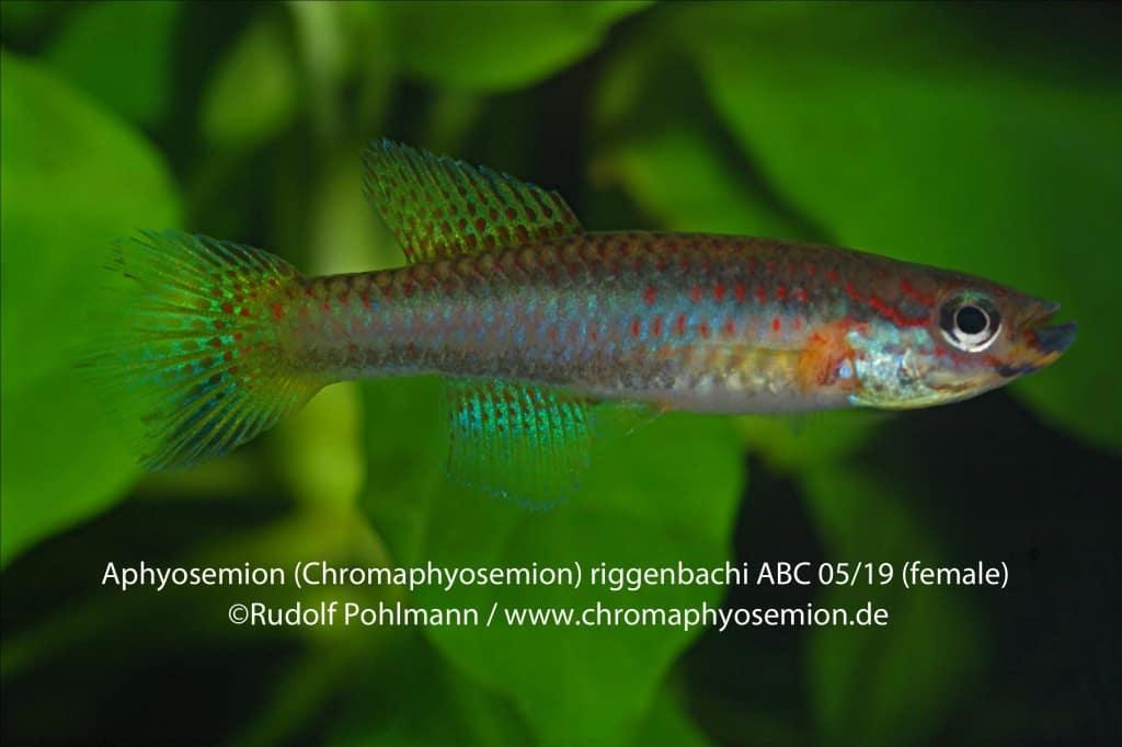 Aphyosemion (Chromaphyosemion) riggenbachi - Riggenbachi Zweistreifen Prachtkärpfling 1