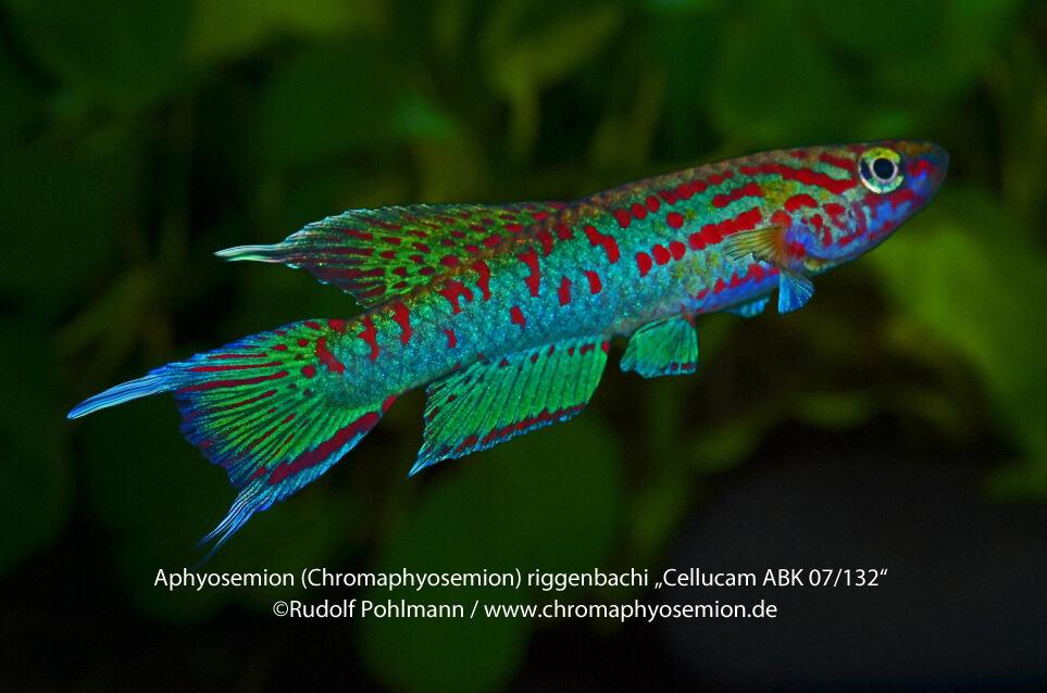 Aphyosemion (Chromaphyosemion) riggenbachi - Riggenbachi Zweistreifen Prachtkärpfling 2