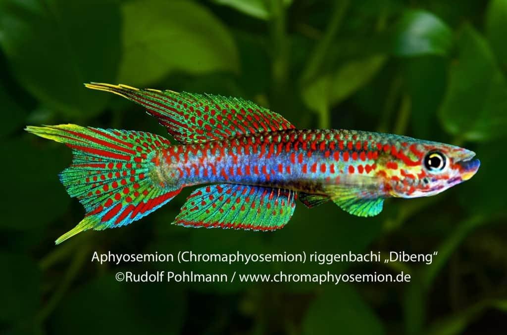 Aphyosemion (Chromaphyosemion) riggenbachi - Riggenbachi Zweistreifen Prachtkärpfling 3