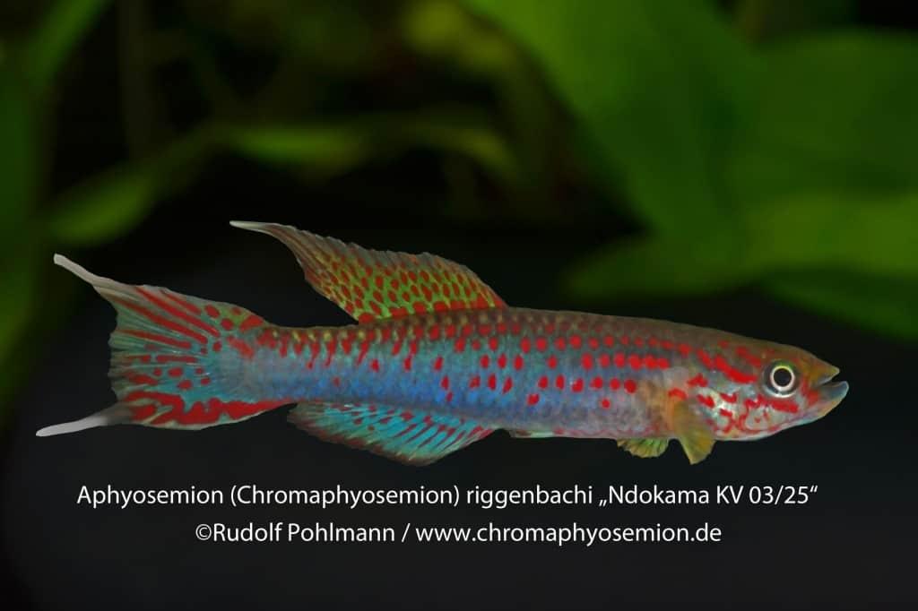 Aphyosemion (Chromaphyosemion) riggenbachi - Riggenbachi Zweistreifen Prachtkärpfling 4