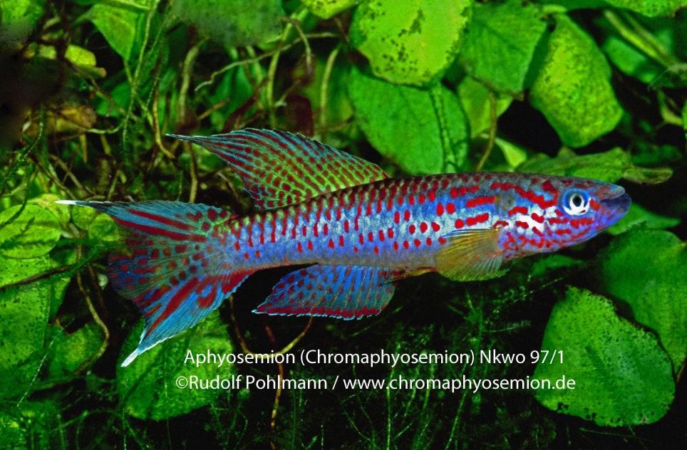Aphyosemion (Chromaphyosemion) riggenbachi - Riggenbachi Zweistreifen Prachtkärpfling 5