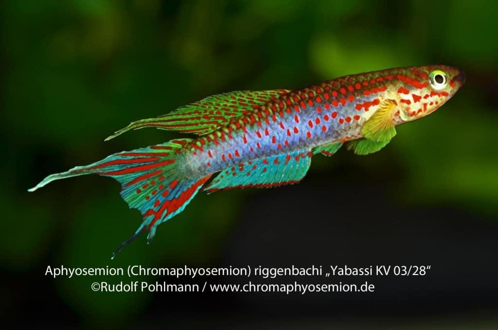 Aphyosemion (Chromaphyosemion) riggenbachi - Riggenbachi Zweistreifen Prachtkärpfling 6