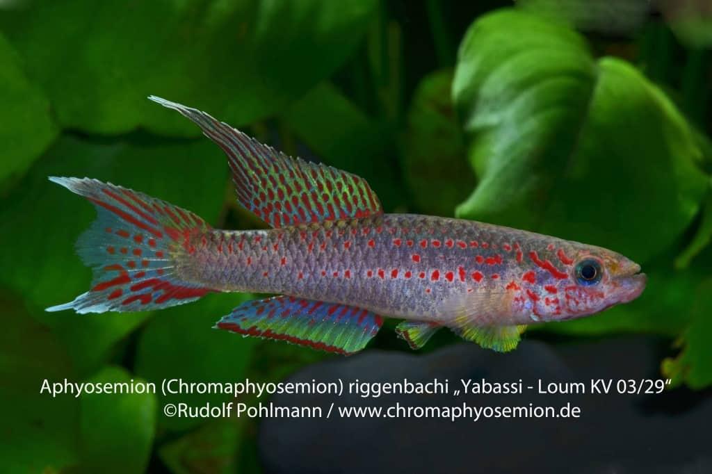 Aphyosemion (Chromaphyosemion) riggenbachi - Riggenbachi Zweistreifen Prachtkärpfling 7
