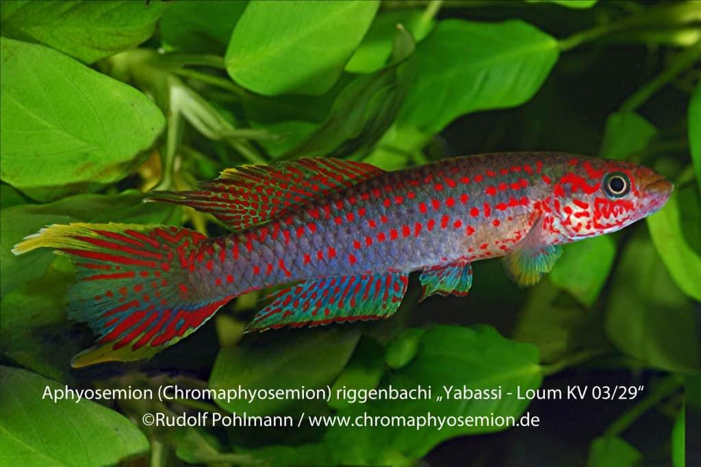 Aphyosemion (Chromaphyosemion) riggenbachi - Riggenbachi Zweistreifen Prachtkärpfling 8