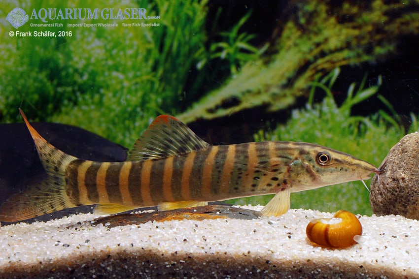 Syncrossus berdmorei - Rotflossen-Tigerschmerle 5