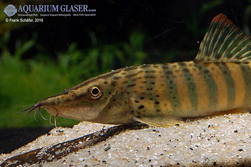 Syncrossus berdmorei - Rotflossen-Tigerschmerle 2