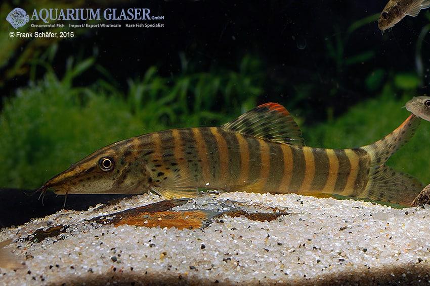 Syncrossus berdmorei - Rotflossen-Tigerschmerle 3