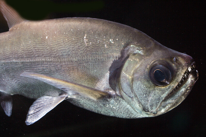 Hydrolycus tatauaia - Rotschwanz-Wolfssalmler 5