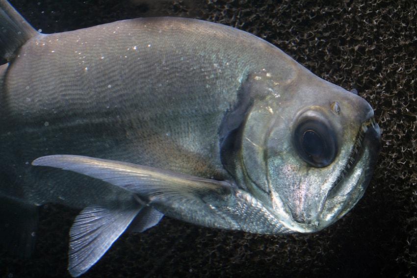 Hydrolycus tatauaia - Rotschwanz-Wolfssalmler 6