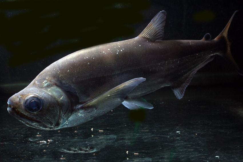 Hydrolycus tatauaia - Rotschwanz-Wolfssalmler 7