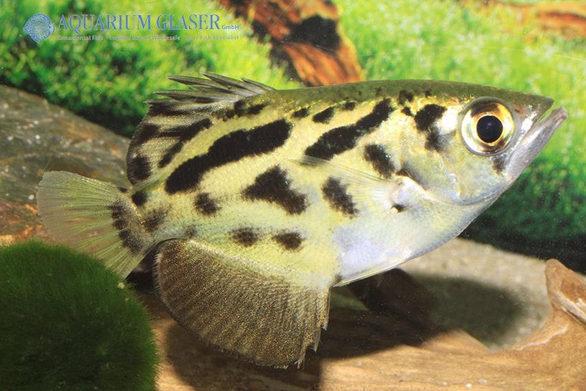Toxotes blythii - Schützenfisch 6
