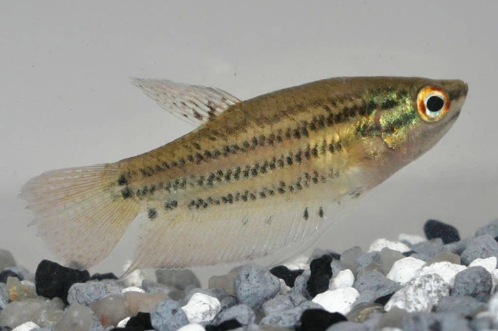 Trichopsis vittata - Knurrender Gurami 2