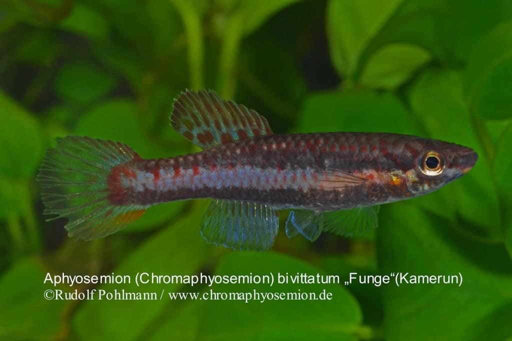 Aphyosemion (Chromaphyosemion) bivittatum 4