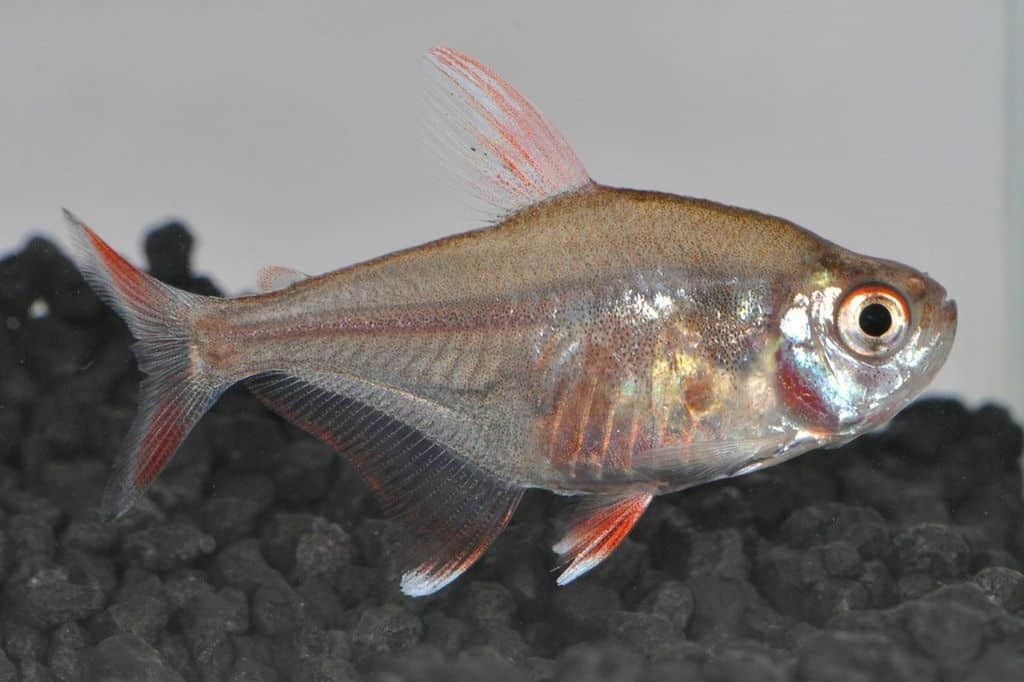 Hyphessobrycon bentosi - Echter Sichelsalmler 3