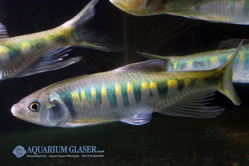 Zacco platypus - Drachenfisch 2