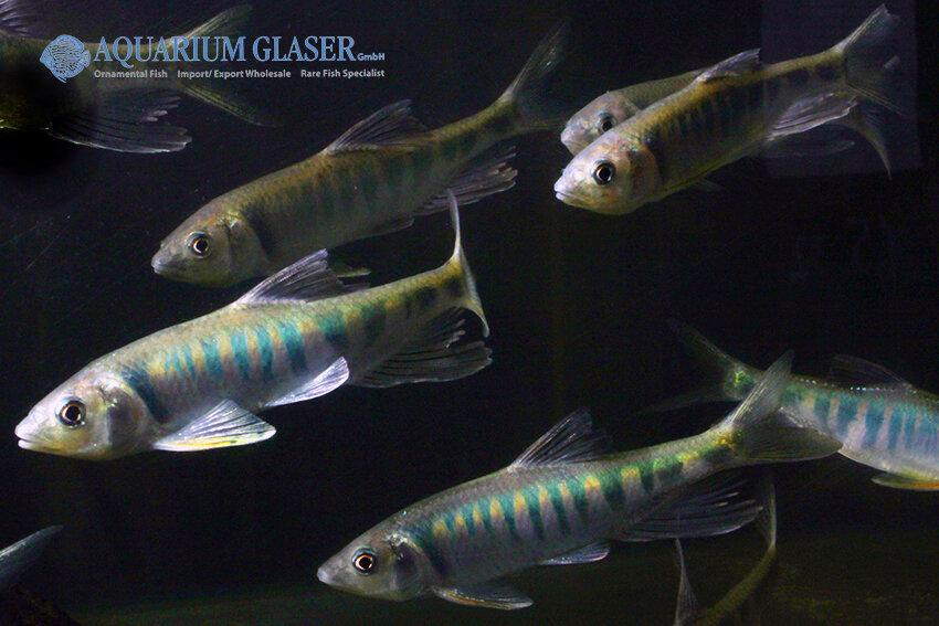 Zacco platypus - Drachenfisch 5