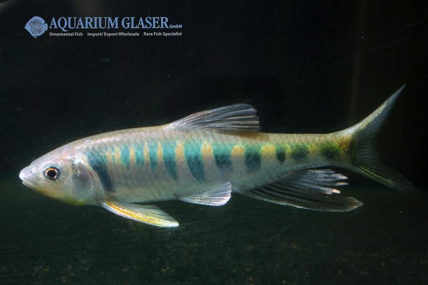 Zacco platypus - Drachenfisch 4