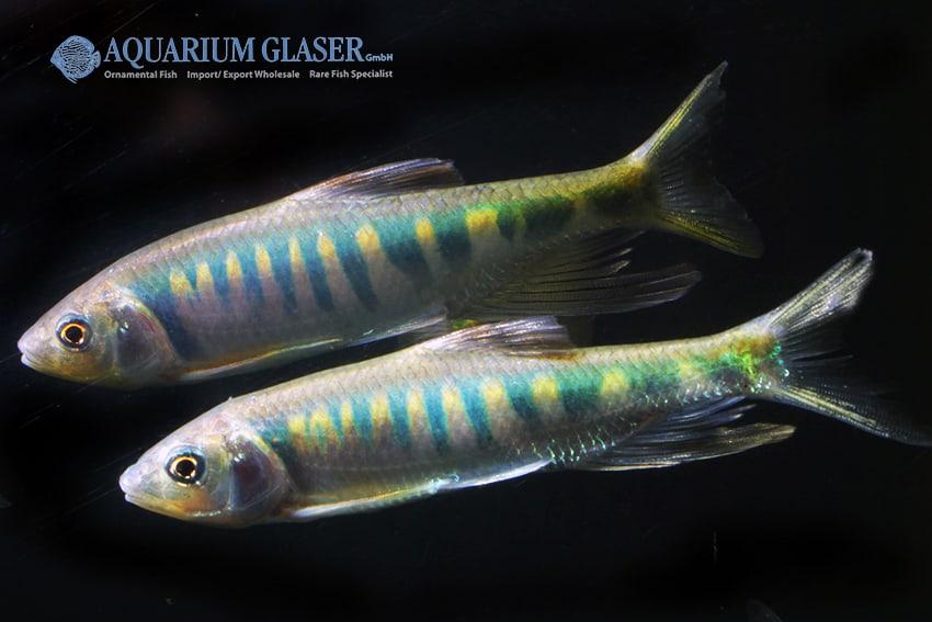 Zacco platypus - Drachenfisch 3