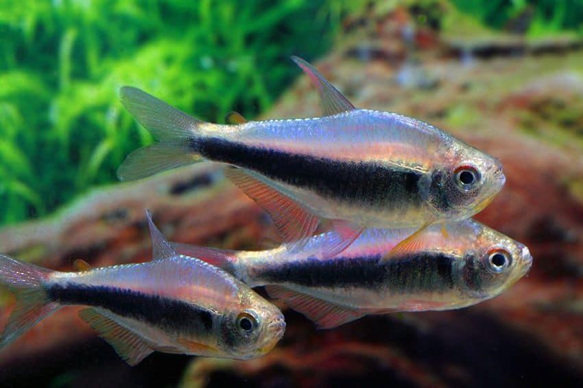 "Hyphessobrycon sp. ""Blue Red Peru"" - Blau-Roter Peruaner 3"
