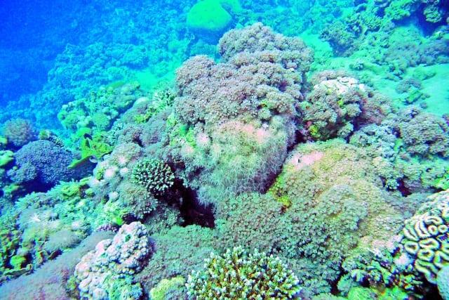 Foto: Straußenkorallen in einem Riff des Roten Meeres. Foto: Malik Naumann