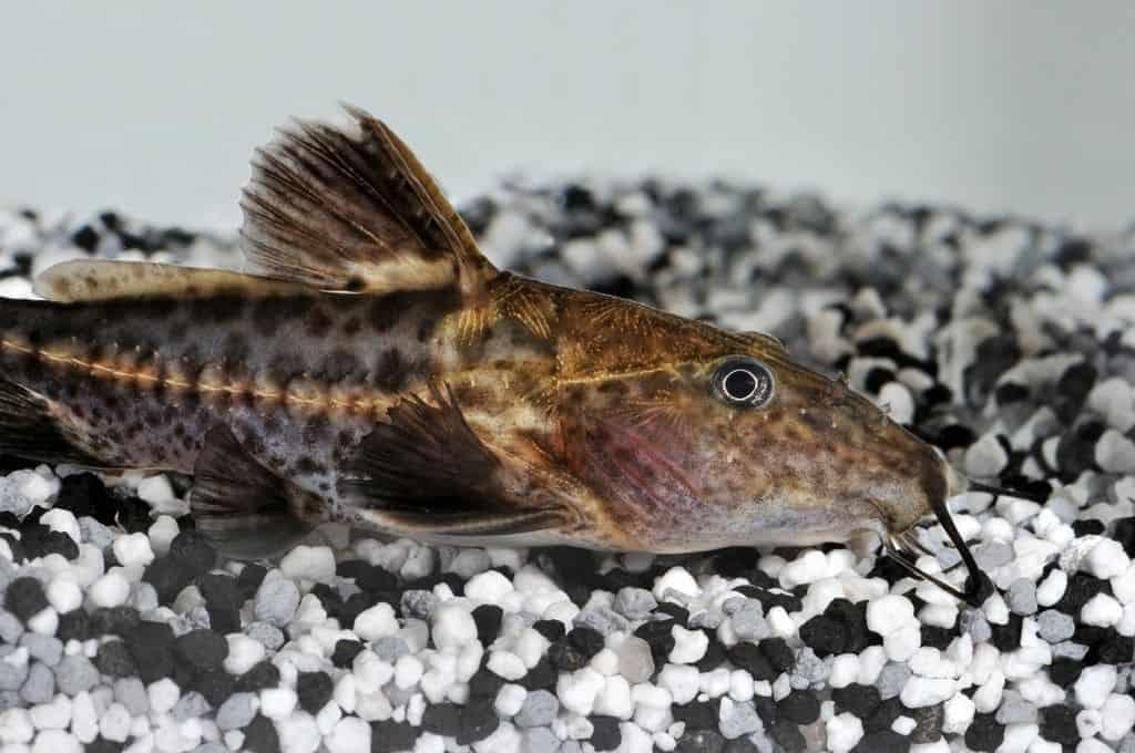 Pseudodoras niger - Schwarzer Dornwels 1
