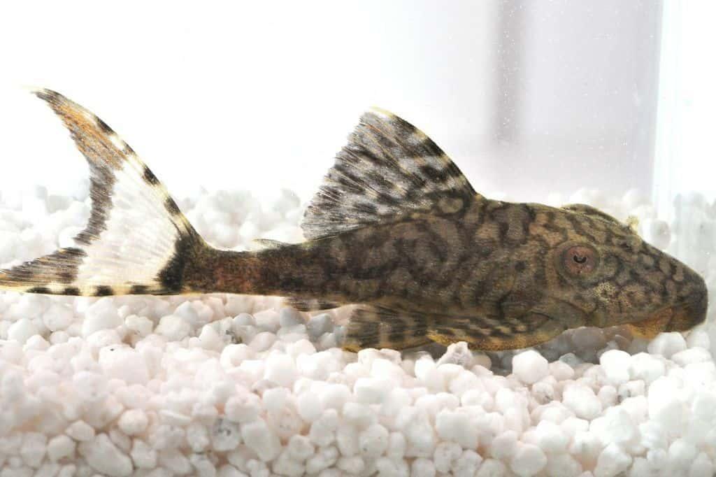 hypostomus spec l37 wels my fish. Black Bedroom Furniture Sets. Home Design Ideas