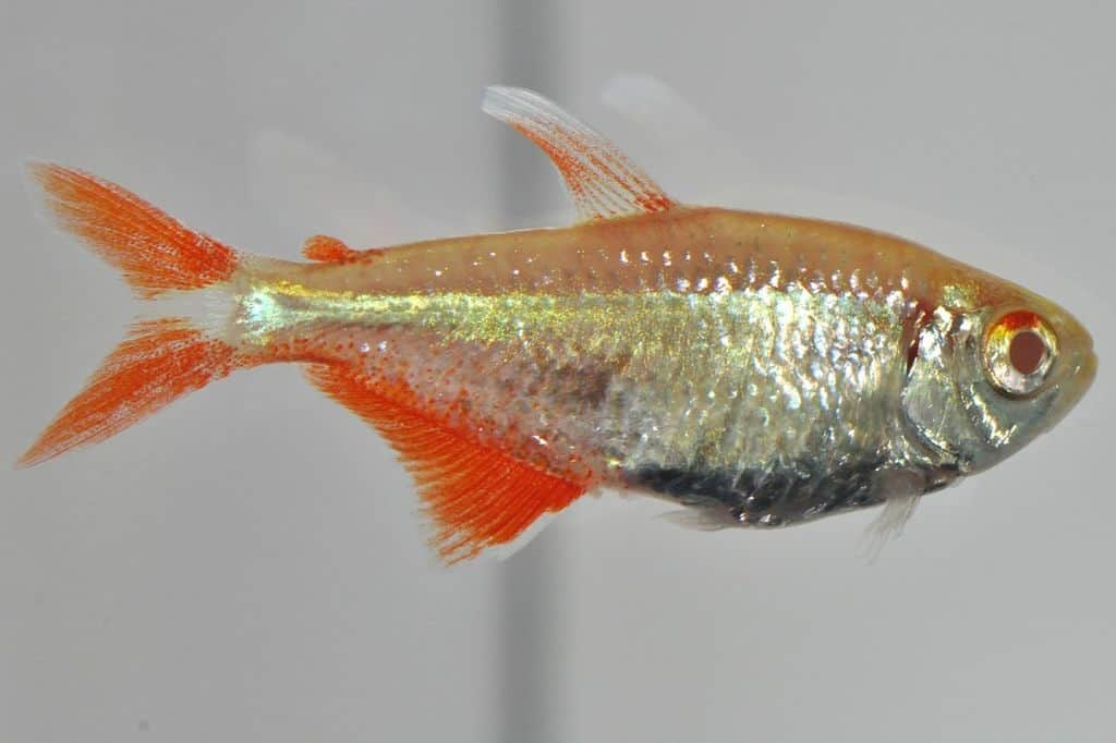 Hyphessobrycon caudovittatus - Rautenflecksalmler 1