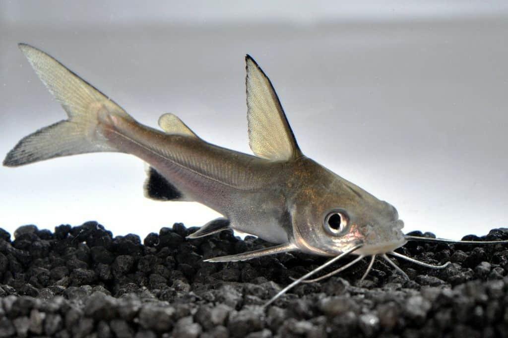 Ariopsis seemanni - Silberwels / Minihai 2