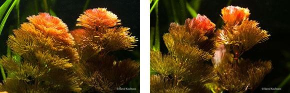 Eine als sehr lichtbedürftig geltende Pflanze, Cabomba furcata, wird hier mit zwei normalen Leuchtstofflampen, die jeweils mit einem guten Reflektor versehen sind, beleuchtet. Nach rund 4 Stunden und 45 Minuten schließt sie die Blattquirle. Foto: Kaufmann