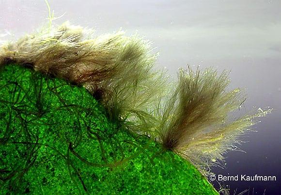 Pinselalgen gehören meist zur Gattung Audouinella, bzw. Rhodochorton (je nach Autor). Unzählige Anfragen betreffen speziell diese Gruppe von Algen. Eigentlich etwas unverständlich, denn hier liegt noch viel mehr als bei anderen Algenarten auf der Hand, warum sie entstehen, wo sie sich bevorzugt ansiedeln und warum sie sich so ungehindert ausbreiten können. Foto: Kaufmann