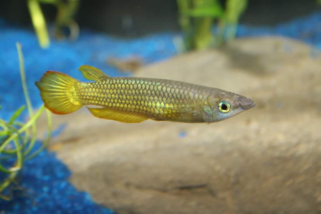 Aplocheilus lineatus - Streifenhechtling 4