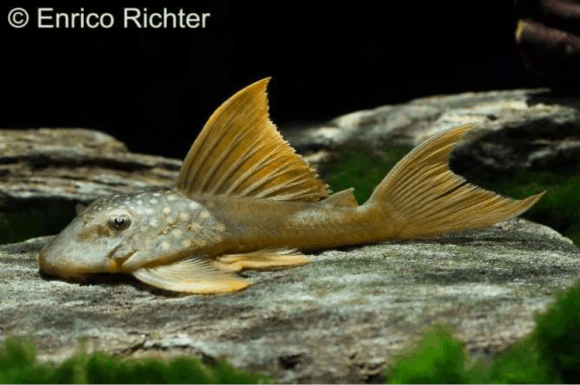 """Baryancistrus demantoides (L 200 """"Hifin"""") - Harnischwels 3"""