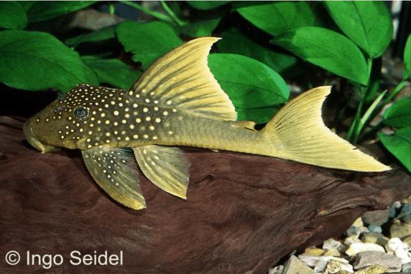 """Baryancistrus demantoides (L 200 """"Hifin"""") - Harnischwels 4"""