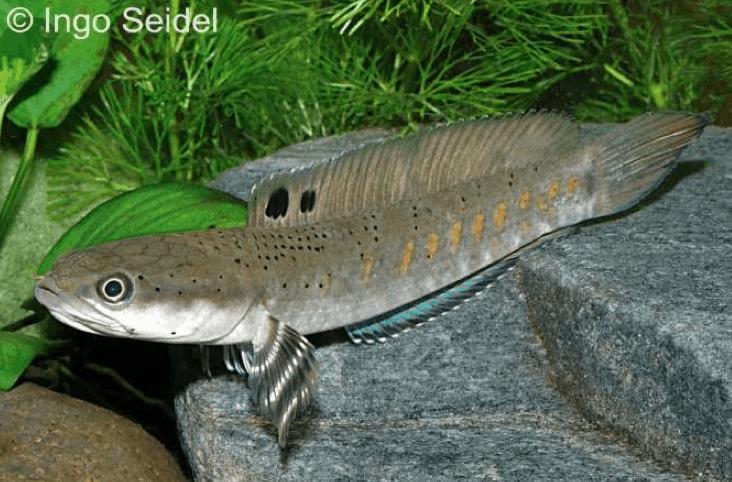 Channa pulchra - Pfauen-Prachtschlangenkopf 1