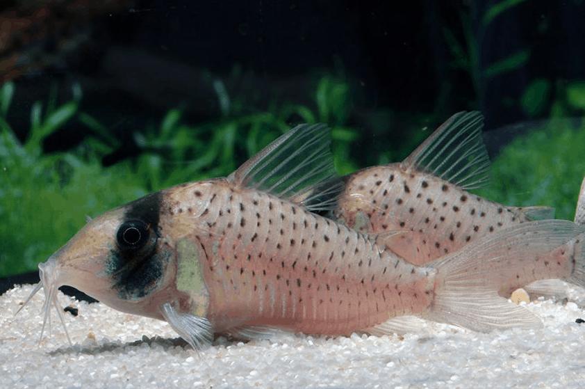 Corydoras sychri - Panzerwels 1