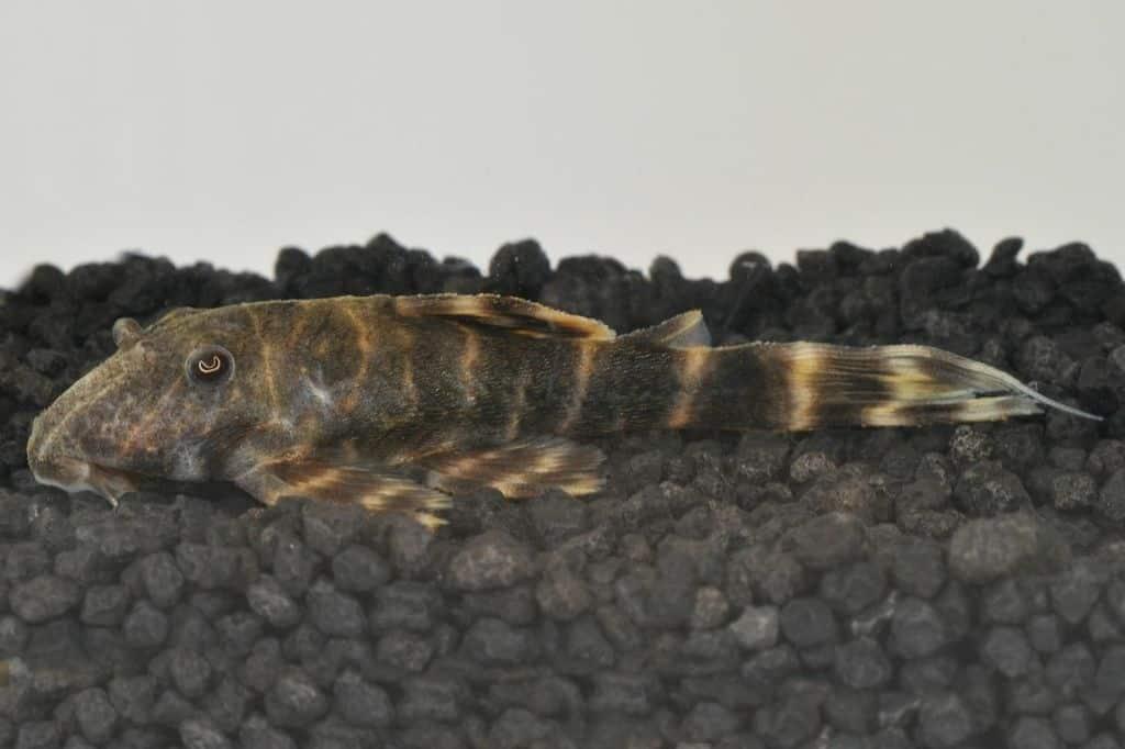 panaqolus aff maccus l104 wels my fish. Black Bedroom Furniture Sets. Home Design Ideas
