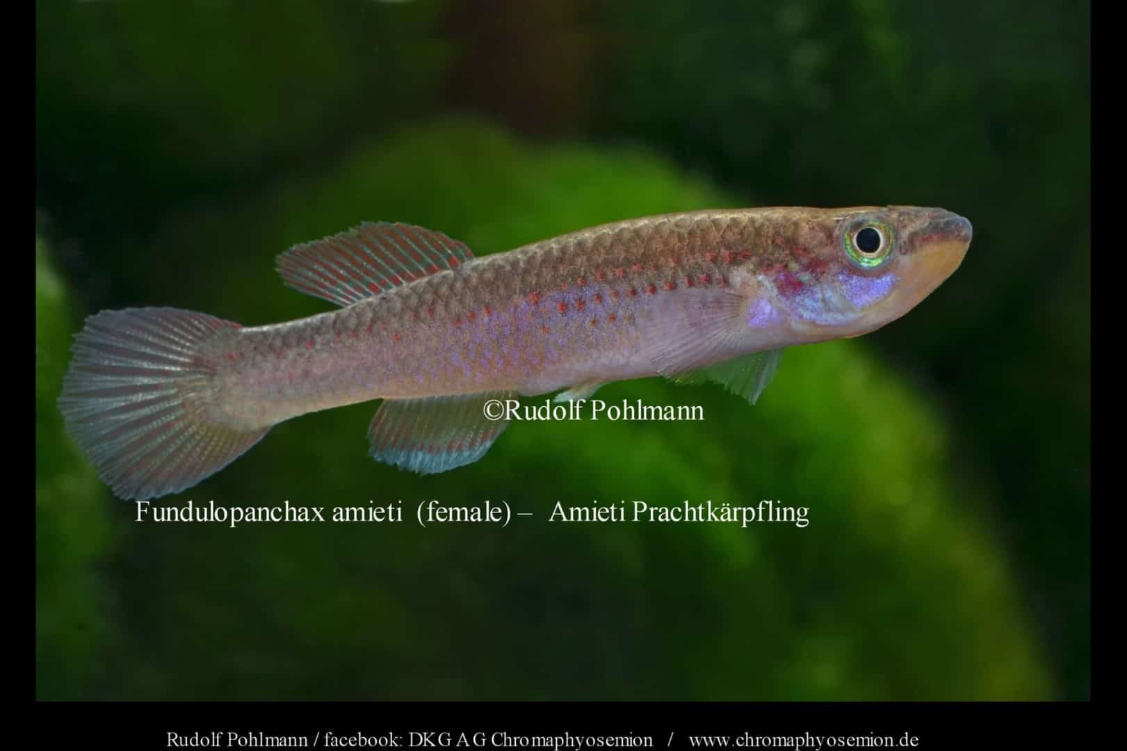 Fundulopanchax amieti - Amiets Prachtkärpfling 1
