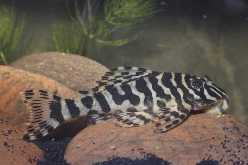 Peckoltia compta (L134) - Goldtigerharnischwels 6