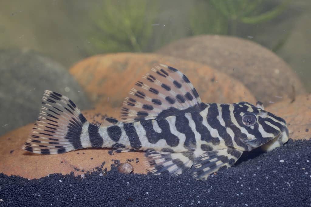 Peckoltia compta (L134) - Goldtigerharnischwels 7