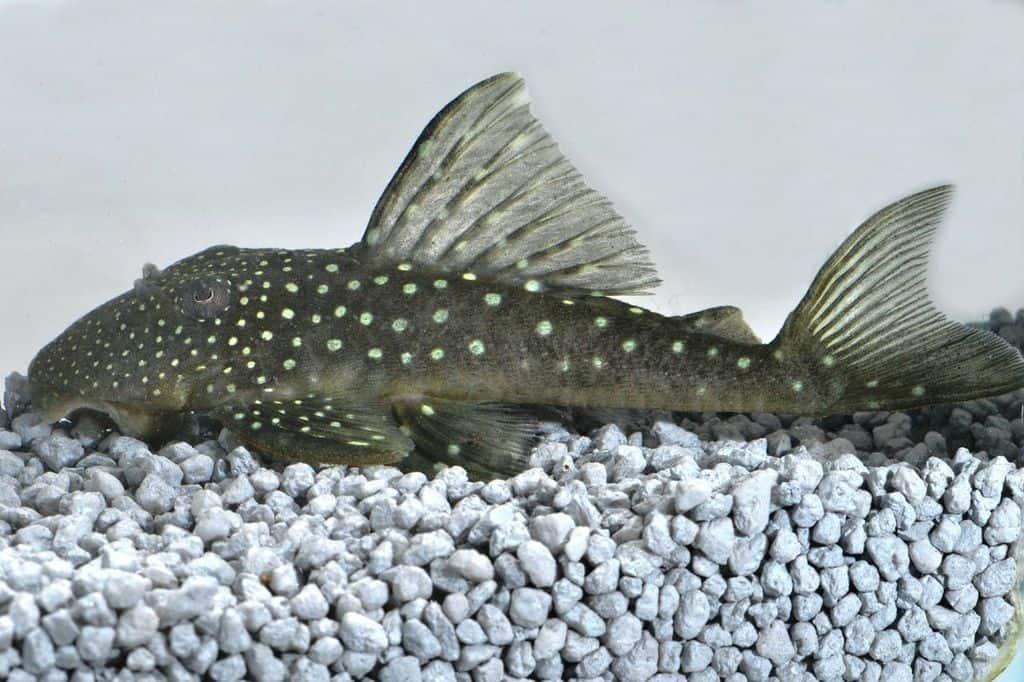 ancistrinae spec l128 wels my fish. Black Bedroom Furniture Sets. Home Design Ideas