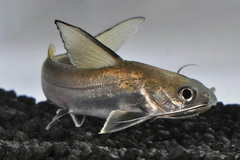 Ariopsis seemanni - Silberwels / Minihai 3