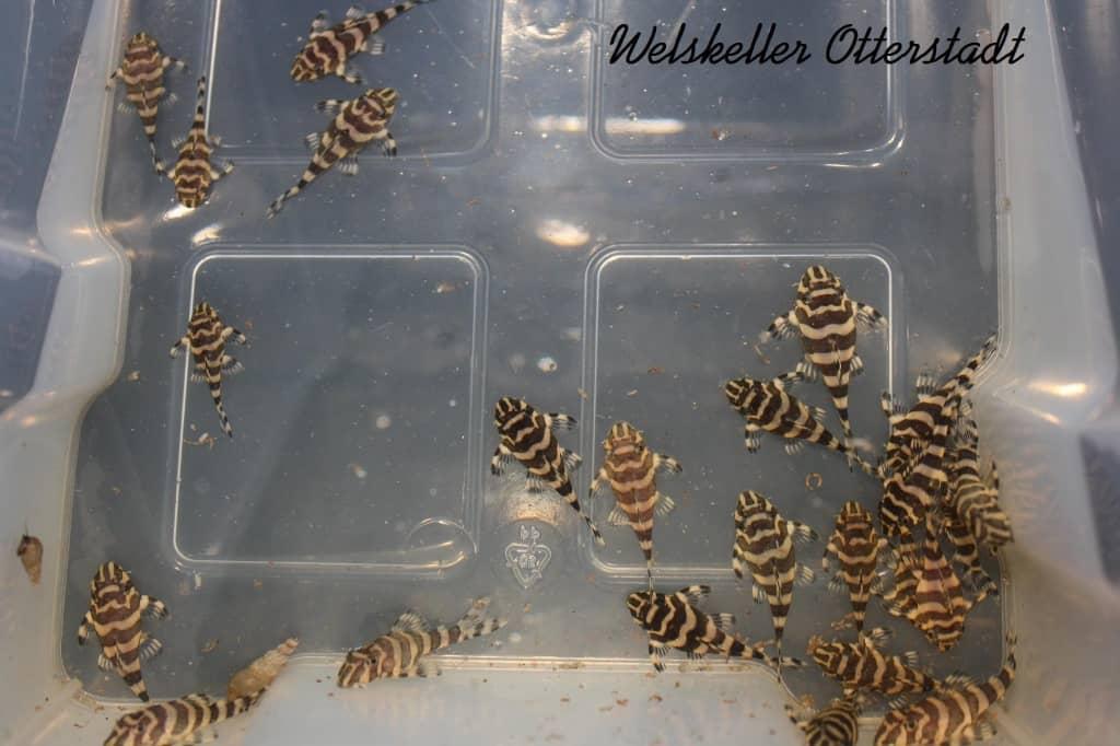 Peckoltia compta (L134) - Goldtigerharnischwels 2