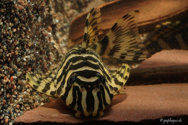Peckoltia compta (L134) - Goldtigerharnischwels 9