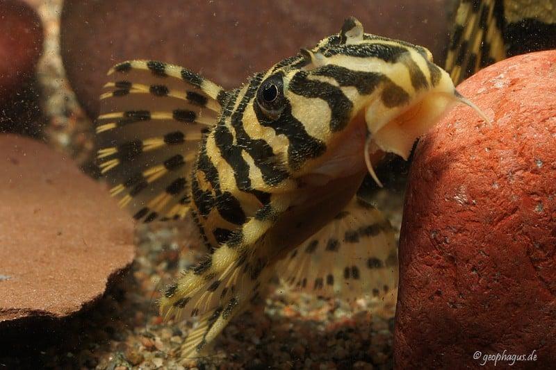 Peckoltia compta (L134) - Goldtigerharnischwels 10