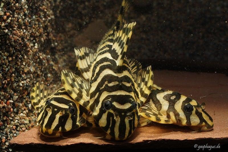 Peckoltia compta (L134) - Goldtigerharnischwels 11