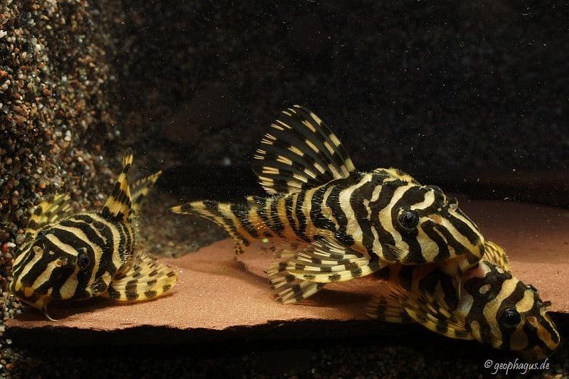 Peckoltia compta (L134) - Goldtigerharnischwels 12