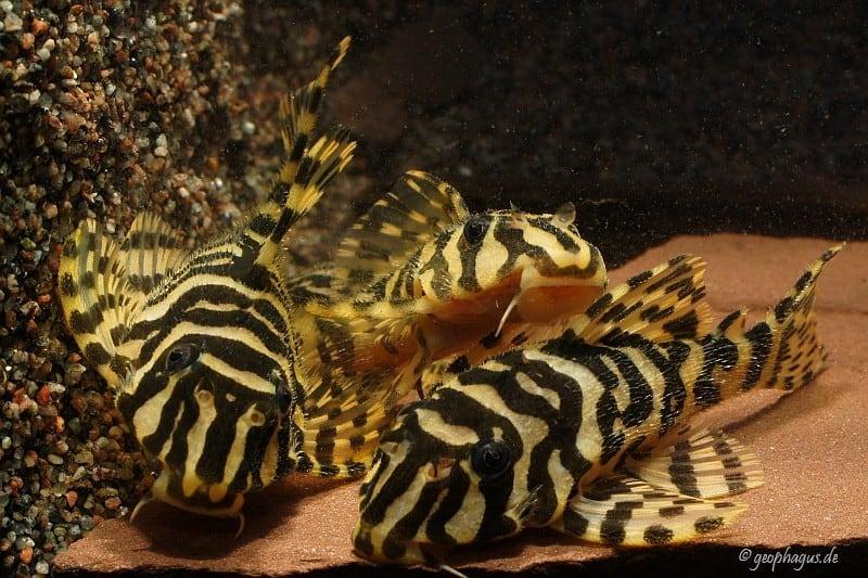 Peckoltia compta (L134) - Goldtigerharnischwels 13