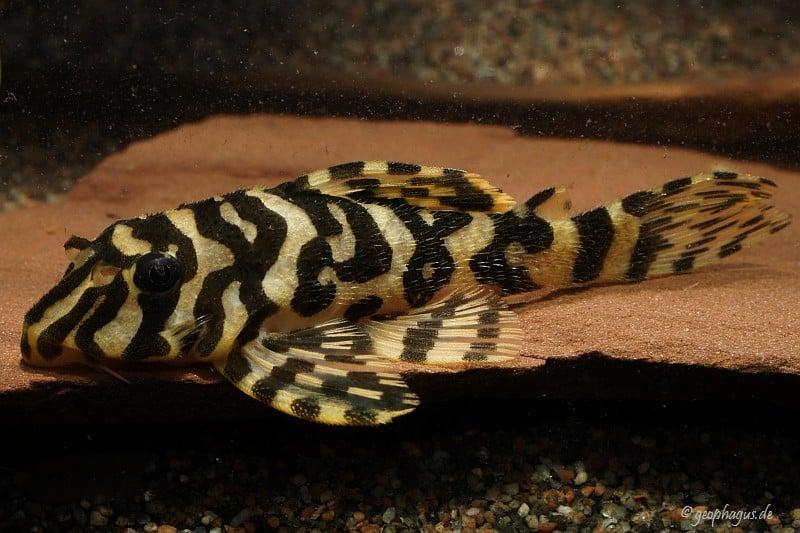 Peckoltia compta (L134) - Goldtigerharnischwels 14